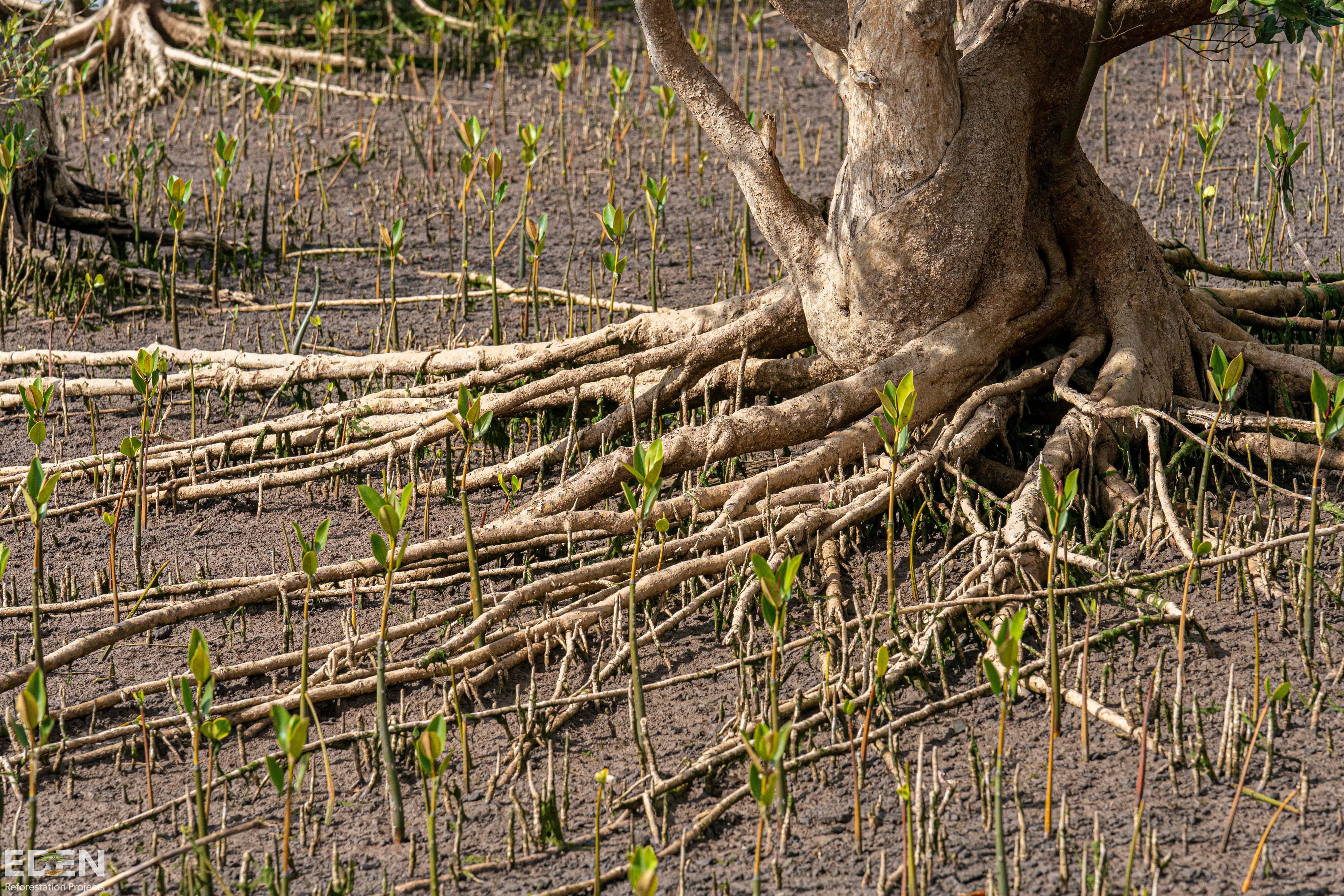 Mangroves Restoration: Meet the locals