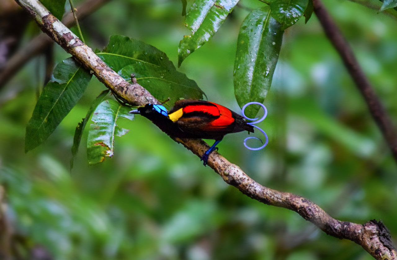 Wilson's bird-of-paradise performing his morning clean-up in West Papua's rainforest