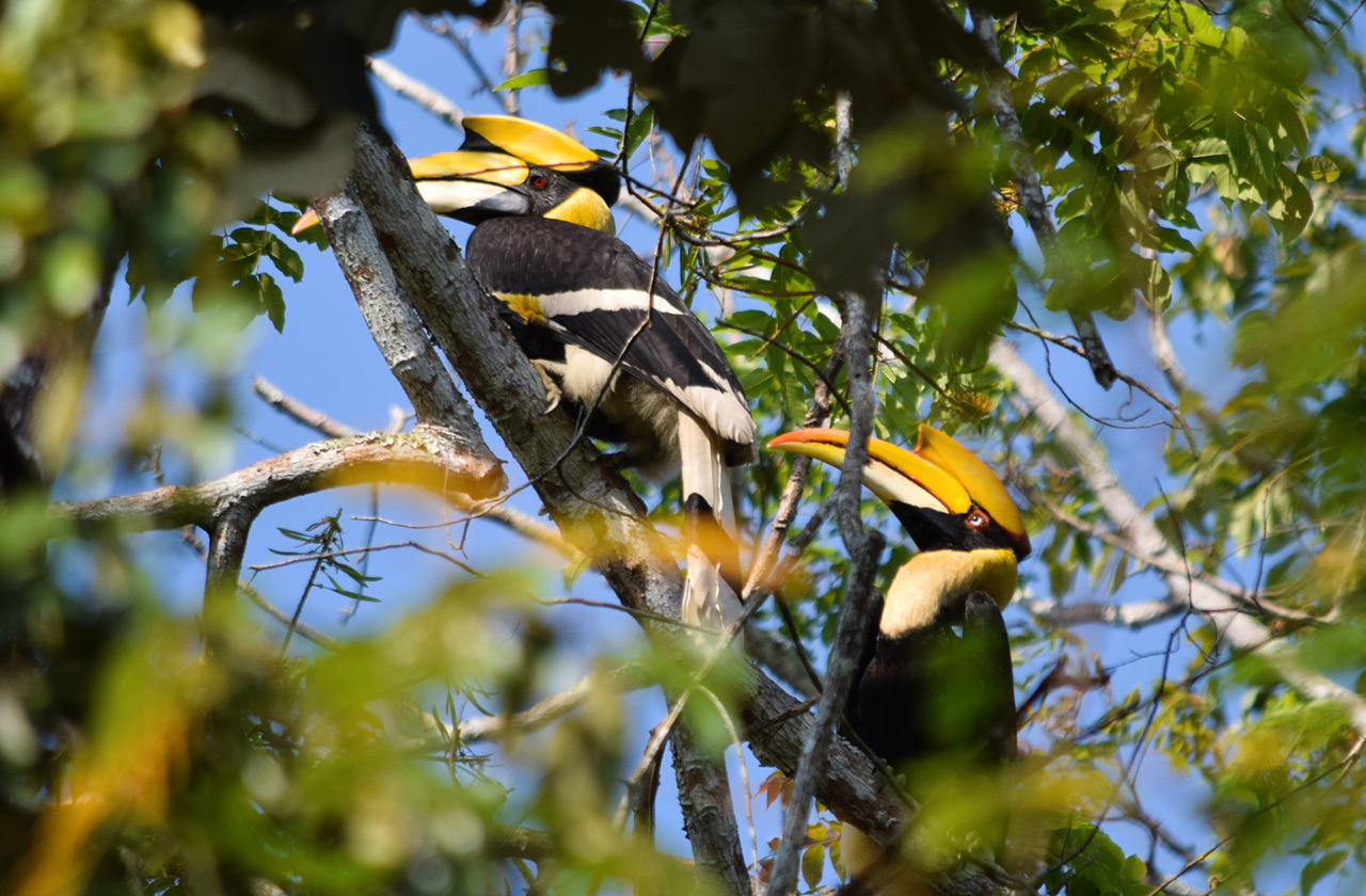 Great Hornbill couple in the treetops, they usually spend their whole lives together