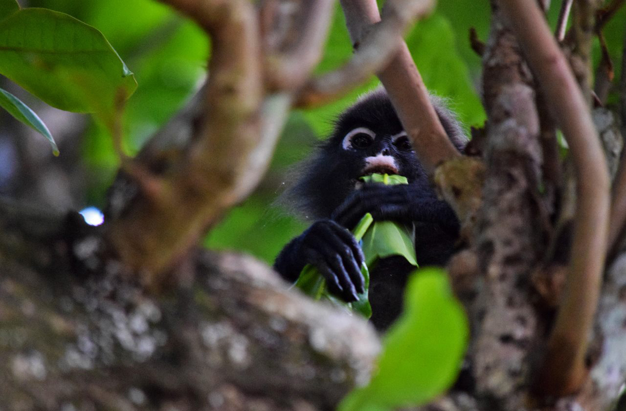 Dusky leaf monkeys live in groups in the islands' jungles
