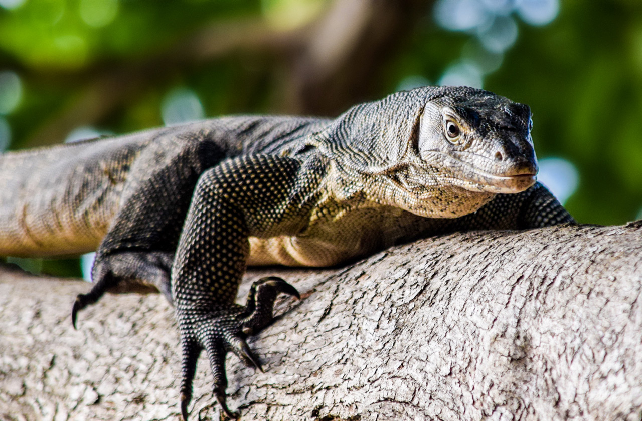 Monitor lizards look dangerous, but they are calm and harmless most of the time