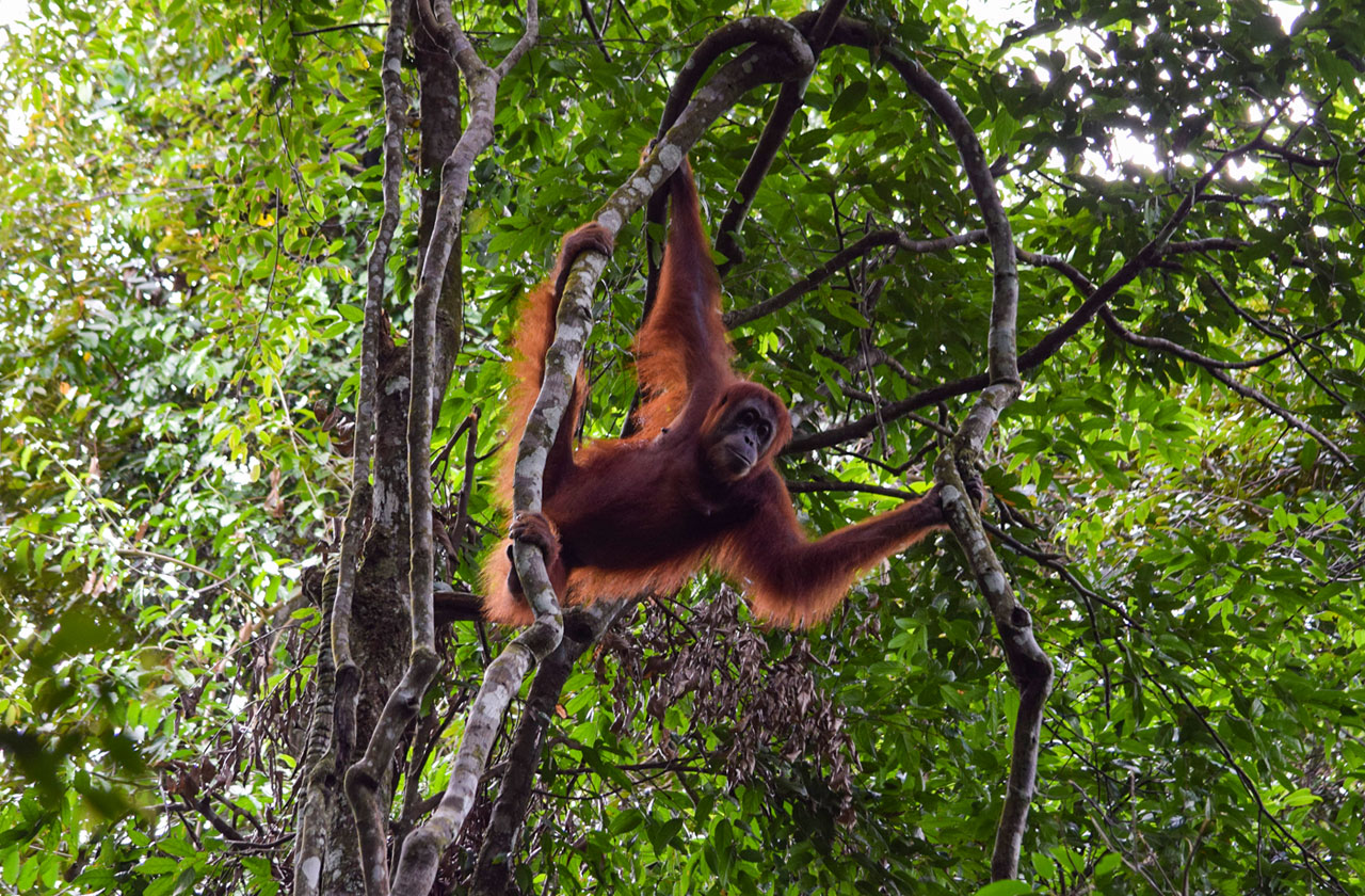 Adult female orangutan hanging out in the treetops in Gunung Leuser National Park