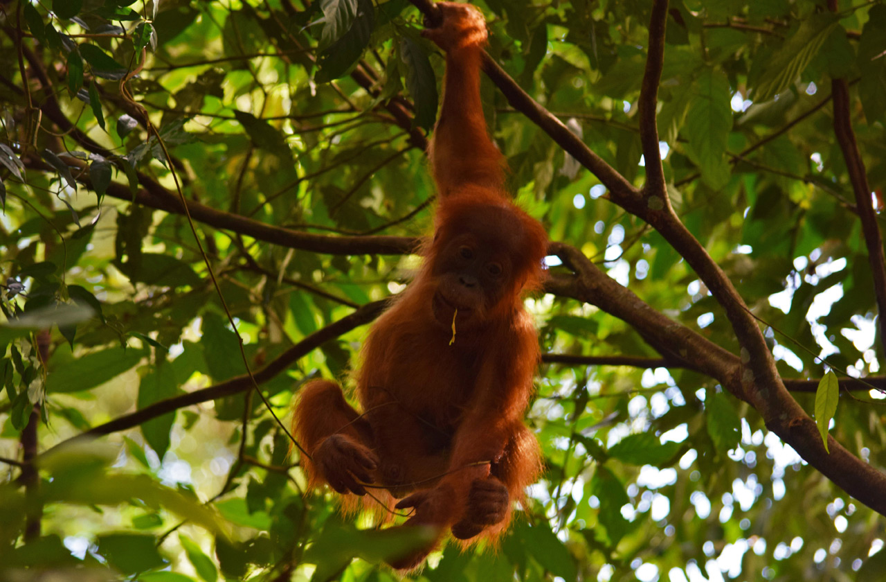 Baby orangutan playing in the treetops