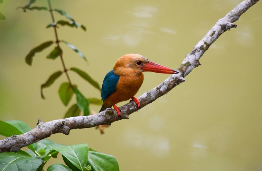 Stork-billed Kingfisher, Sabah, Borneo