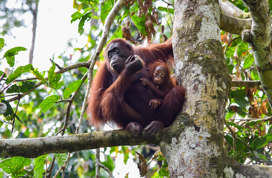 Orangutan mum with baby relaxing in the treetops in Sepilok's Orangutan Sanctuary