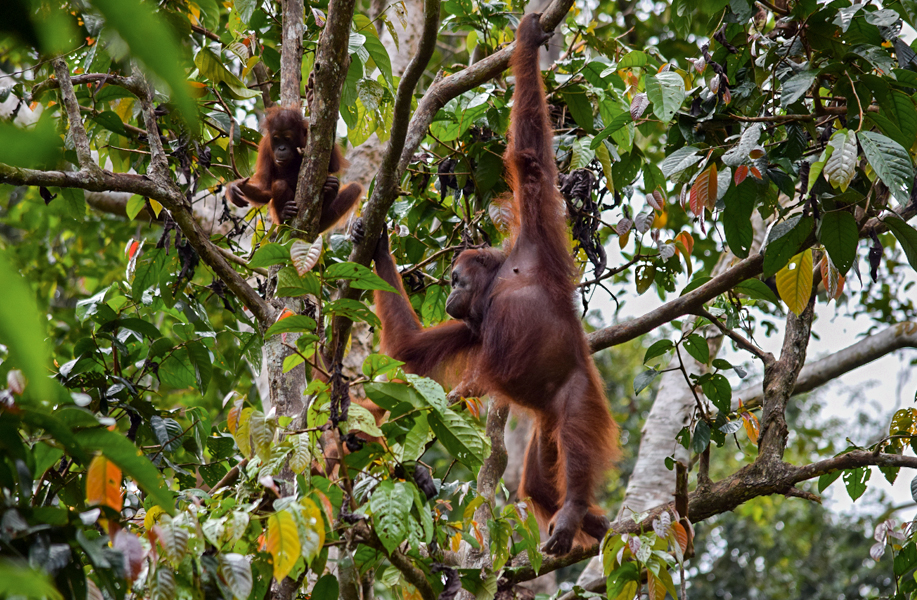 Playtime in the treetops (Sepilok Orangutan Sanctuary)