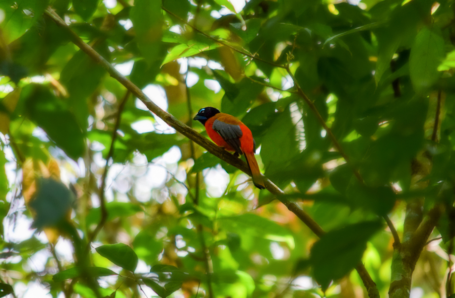 Scarlet-rumped Trogon resting in the forest outside of Gomantong Caves