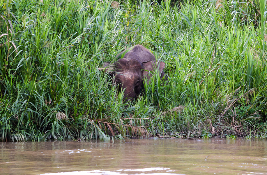 Pygmy Elephants usually hide along the riverbanks in the morning