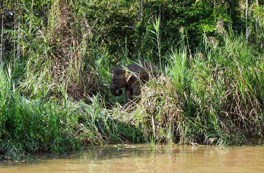 Borneo pygmy elephant, the world's smallest (Kinabatangan River)