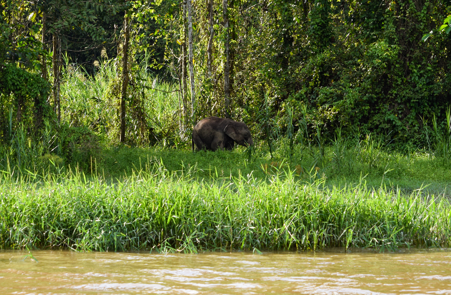 A baby Pygmy elephant running through the riverbanks to catch up with its herd
