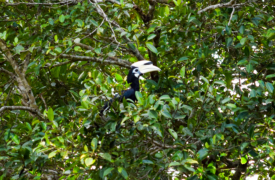 Oriental Pied Hornbill hiding in the treetops around the Kinabatangan River
