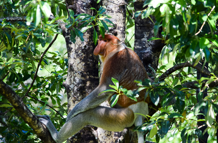 Proboscis monkey adult male hiding himself from the scorching sun (Kinabatangan river)