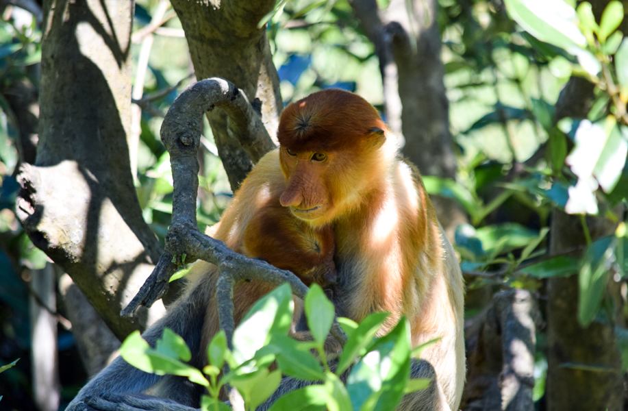 Female Proboscis monkey taking care of its baby