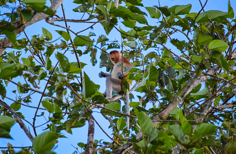 Proboscis monkeys usually gather in the treetops late in the afternoon