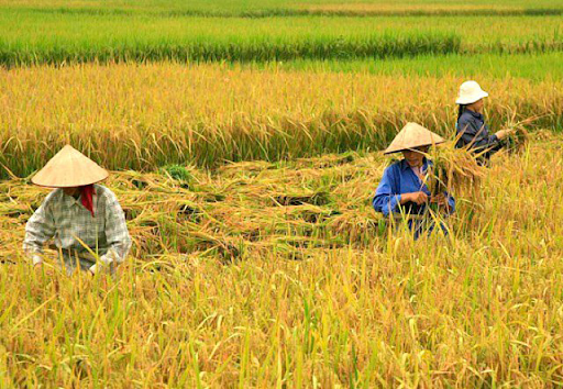 Cagayan Valley Rice Farmers Post Higher Earnings