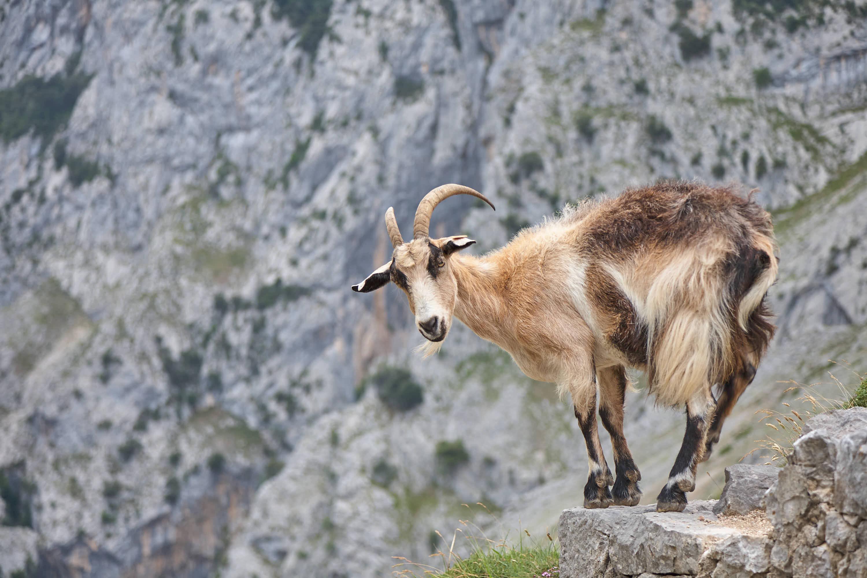 Cabra mirando en la Ruta o senda del Cares entre Poncebos (Asturias) y Cain (León)