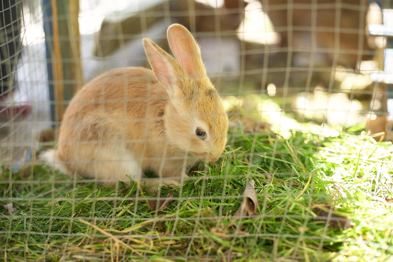 Conejo en la granja del restaurante Molin de Mingo, en Peruyes, Cangas de Onis, Asturias