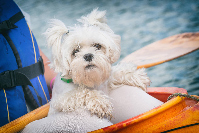 Gracioso perro pequeño mirando a camara sentado en las piernas de una mujer dentro de una canoa en el agua