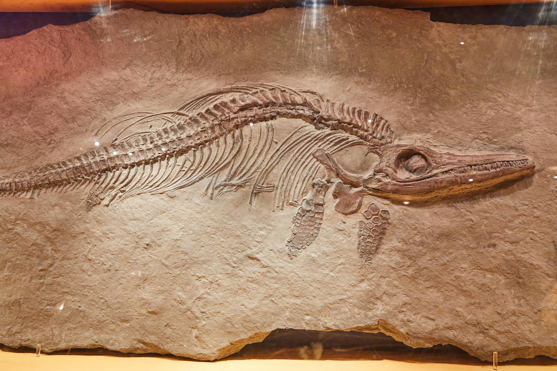 Fósil de animal acuático en el Museo del Jurásico de Asturias, MUJA, Colunga