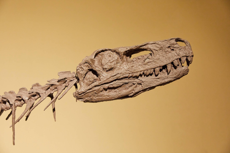 Cráneo de dinosaurio Herrerasaurus en el Museo del Jurásico de Asturias, MUJA, Colunga