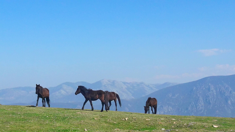 Caballos de la raza Asturcón pastando libres en una pradera en la cima de las montañas