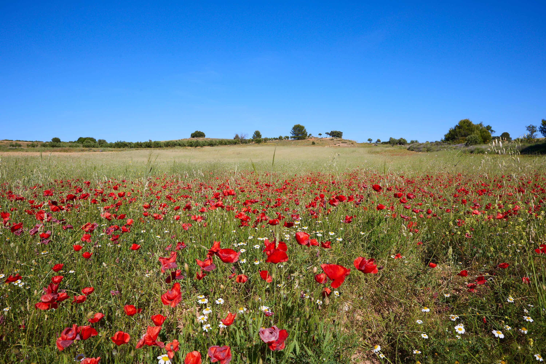 Campo de flores cerca de la Ruta de las Caras, Buendía, Cuenca, Castilla La Mancha