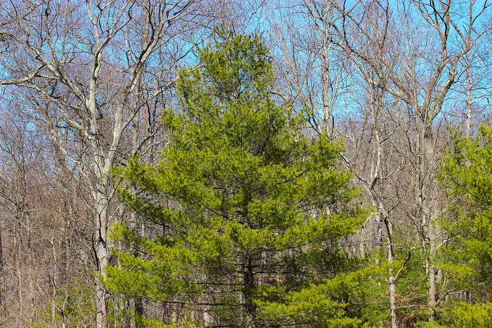 Pin, Vert, Des Forêts, Arbre, Nature, Bois, Automne