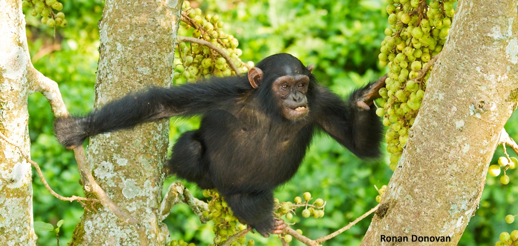 Lunch Break Science: Chimpanzee Communication with Zarin Machanda