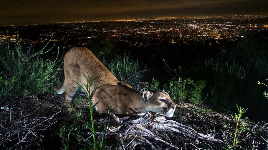 NightSchool: Wild Cats on the West Coast
