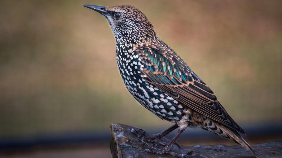 SciCafe: Shakespearean Bird Invasion