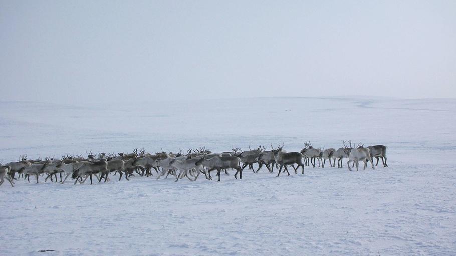 The Scientist Is In: Reindeer Special