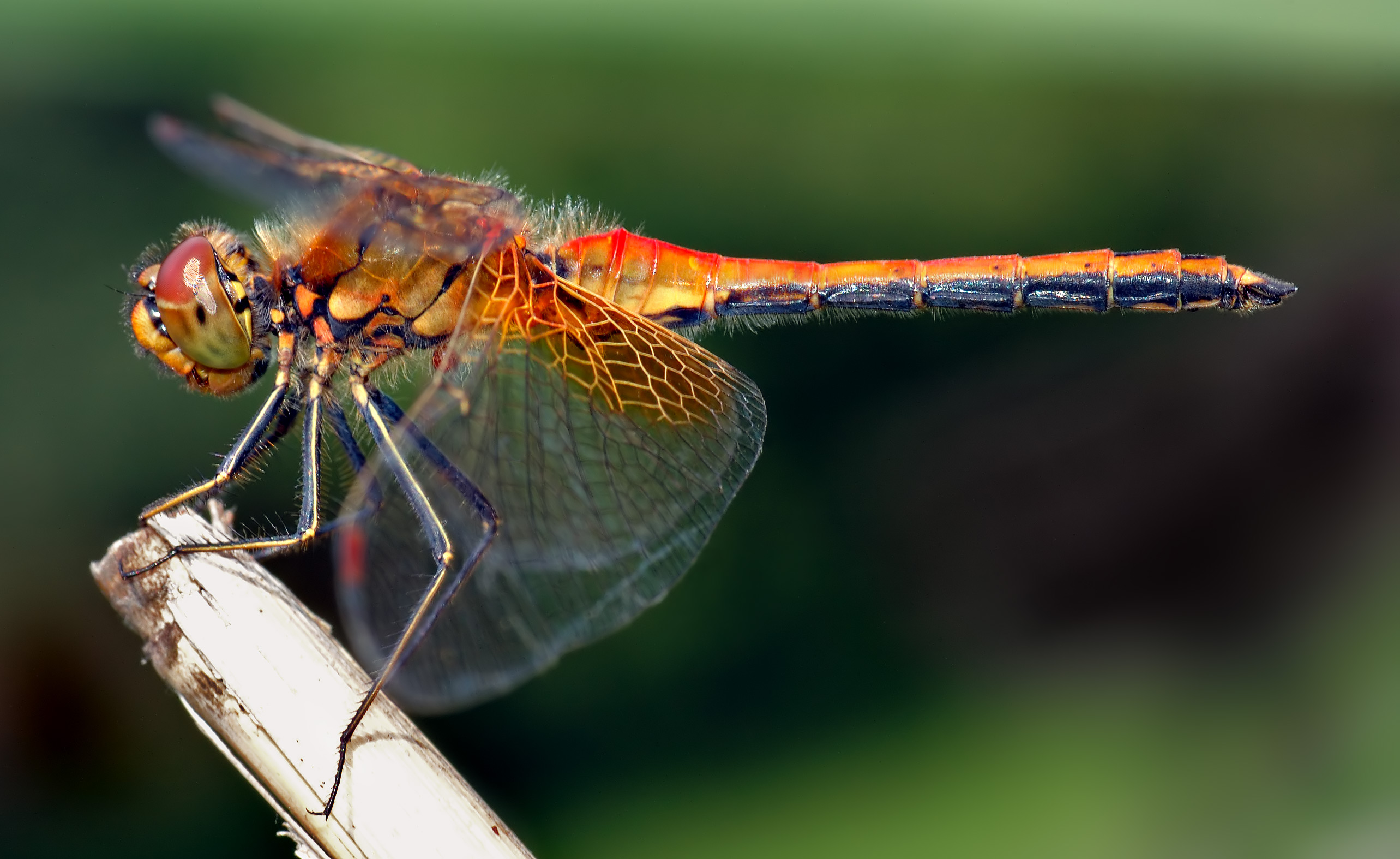 Breakfast Club: Dragonflies, Damselflies, Termites, and More