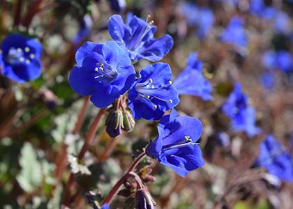 Elusive Blue: The Rarest of Flower Colors