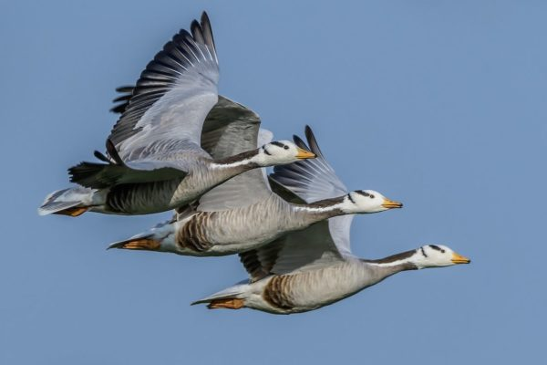 Birds of the World: Amazing Migrations