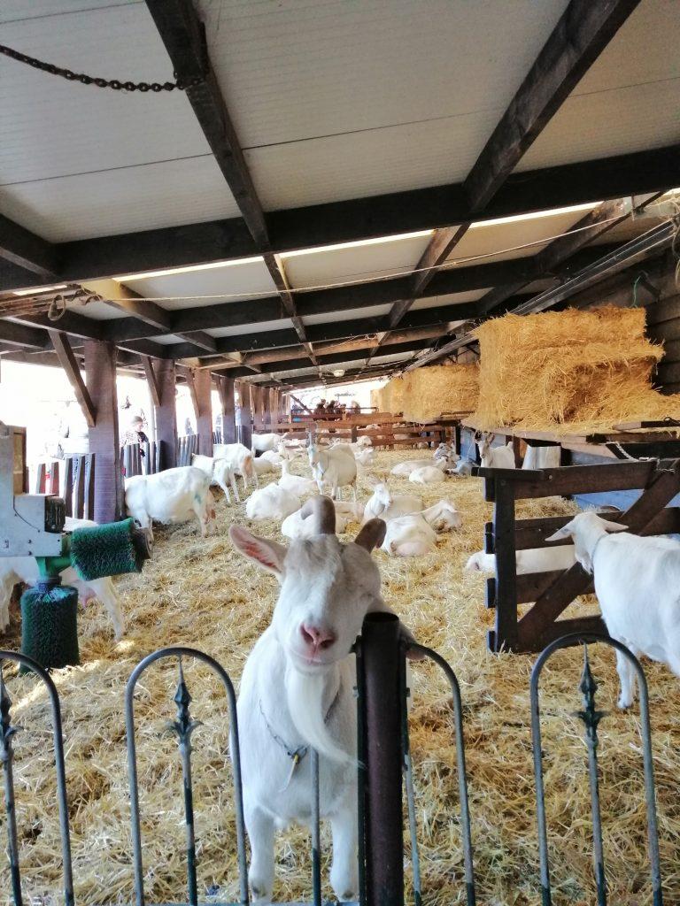 Fazenda de cabras