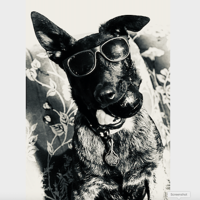 Gannet Hackett's dog Shadow, a Dutch Shepard breed puppy.