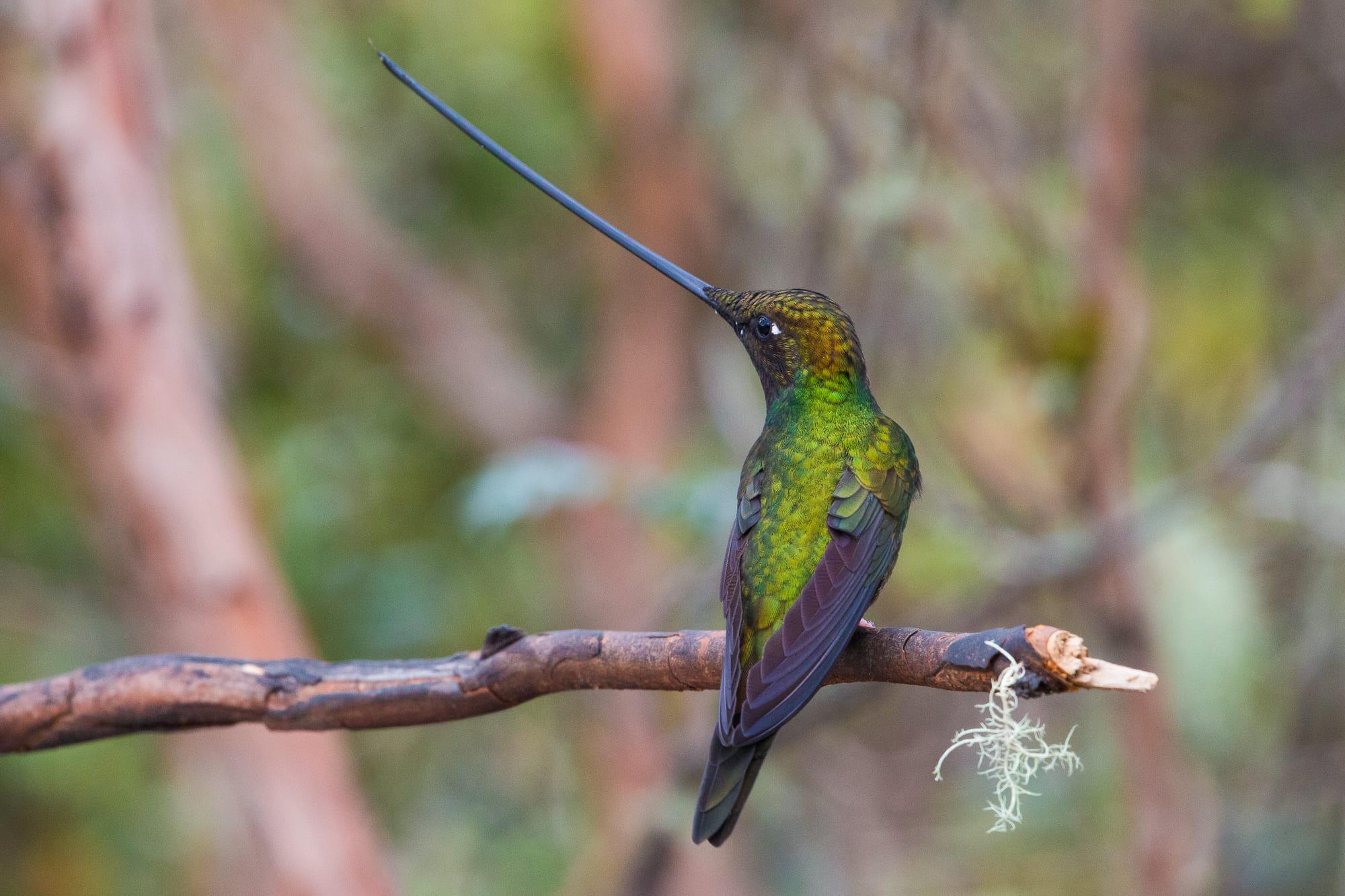 Sword-billed Hummingbird in Ecuador.