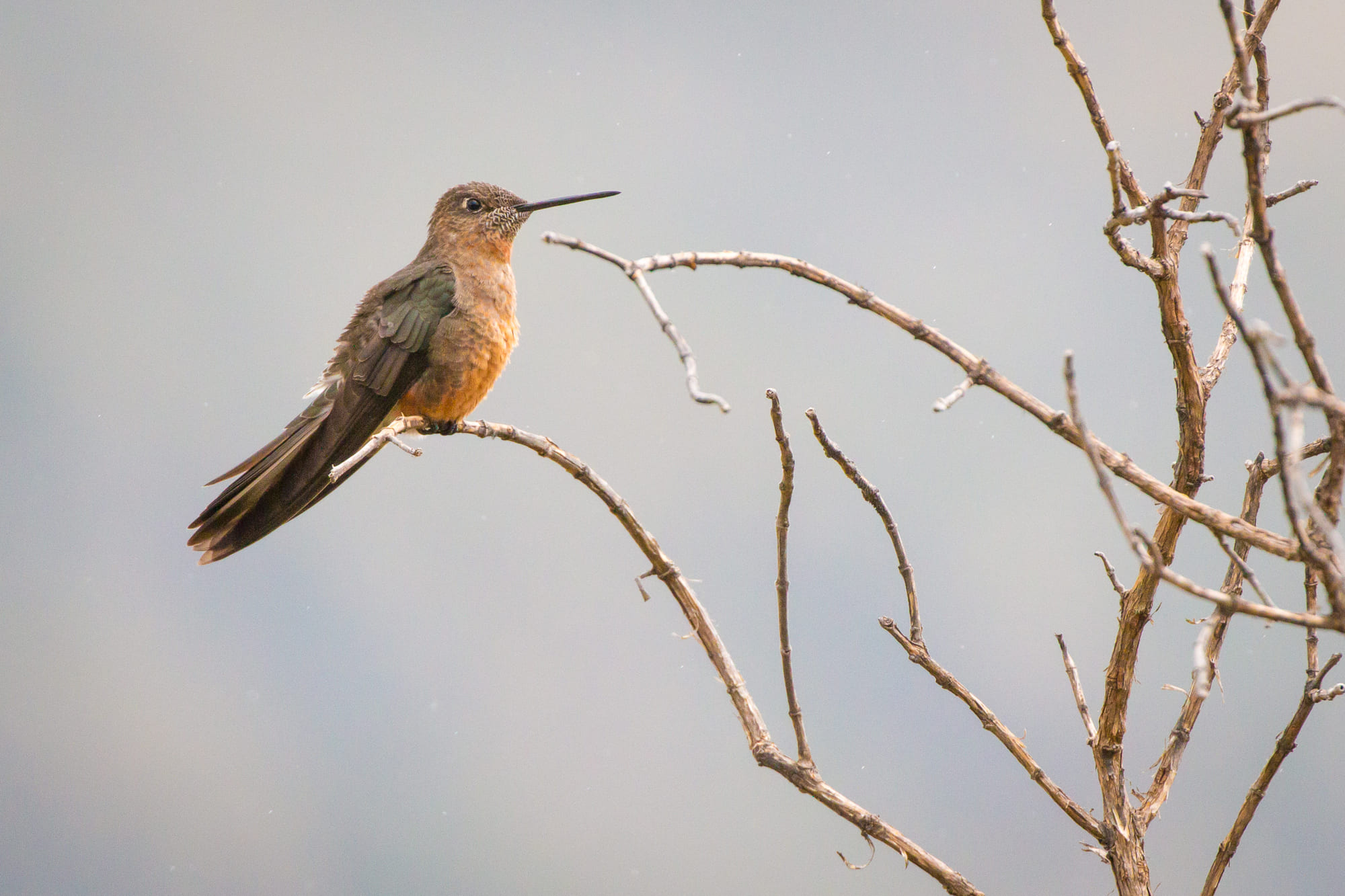 Giant Hummingbird in Ecuador.