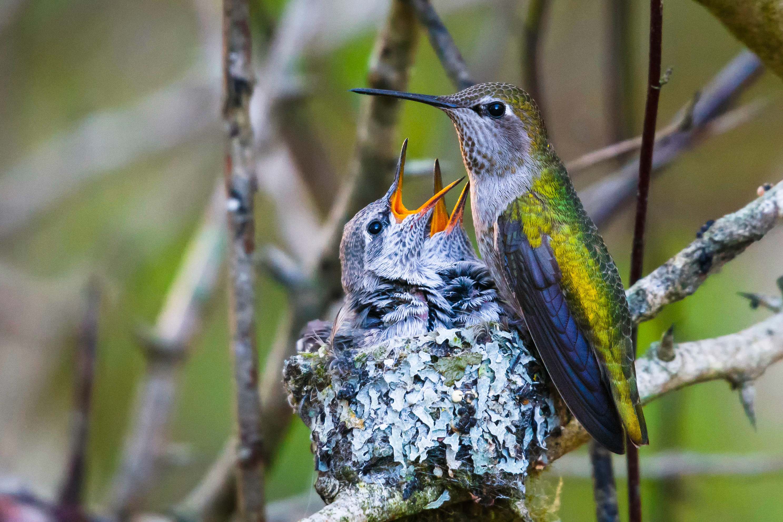 Female Annas Hummingbird with two chicks.
