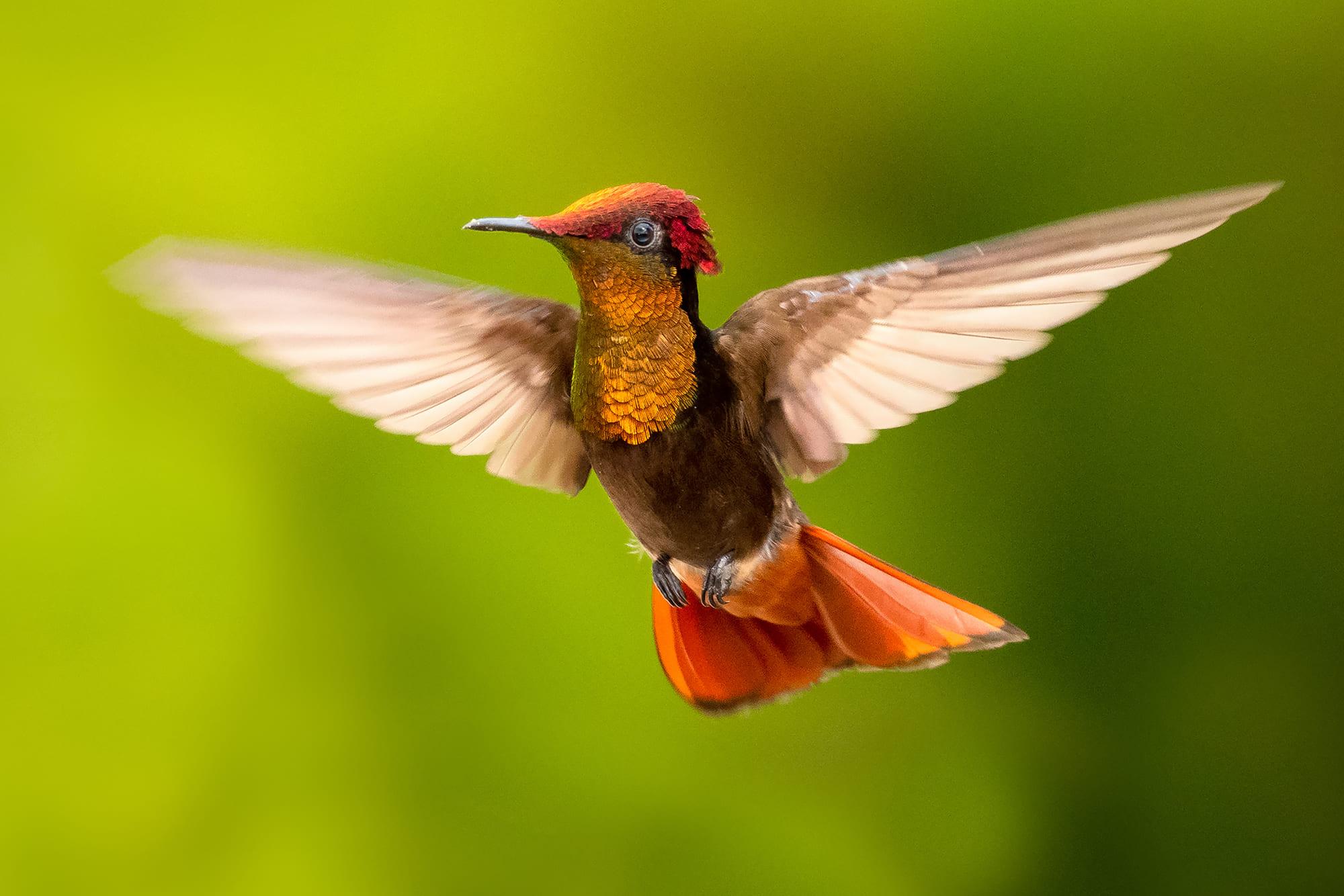 Ruby-topaz Hummingbird on the island of Trinidad.