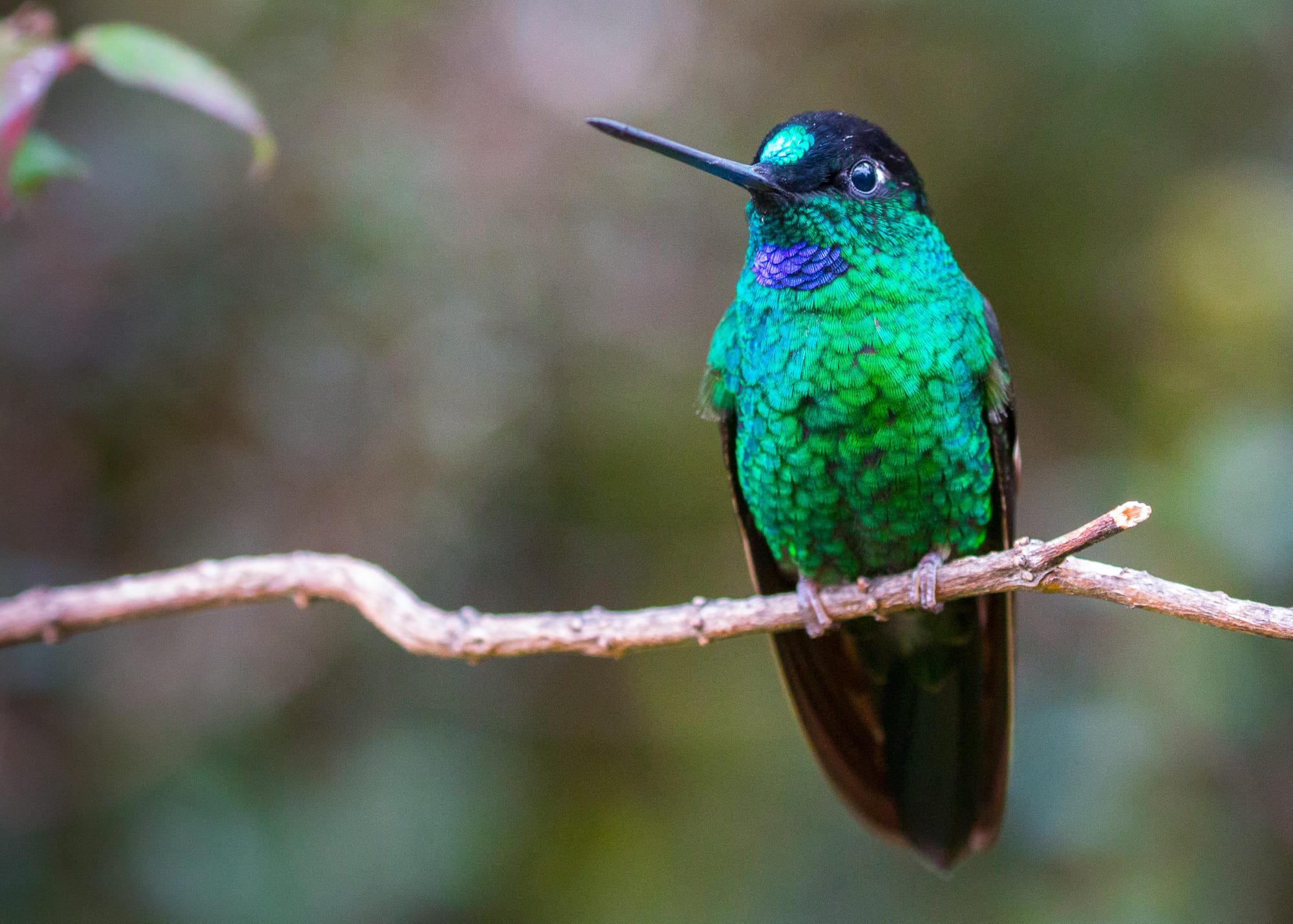 Buff-winged Starfrontlet in Ecuador.