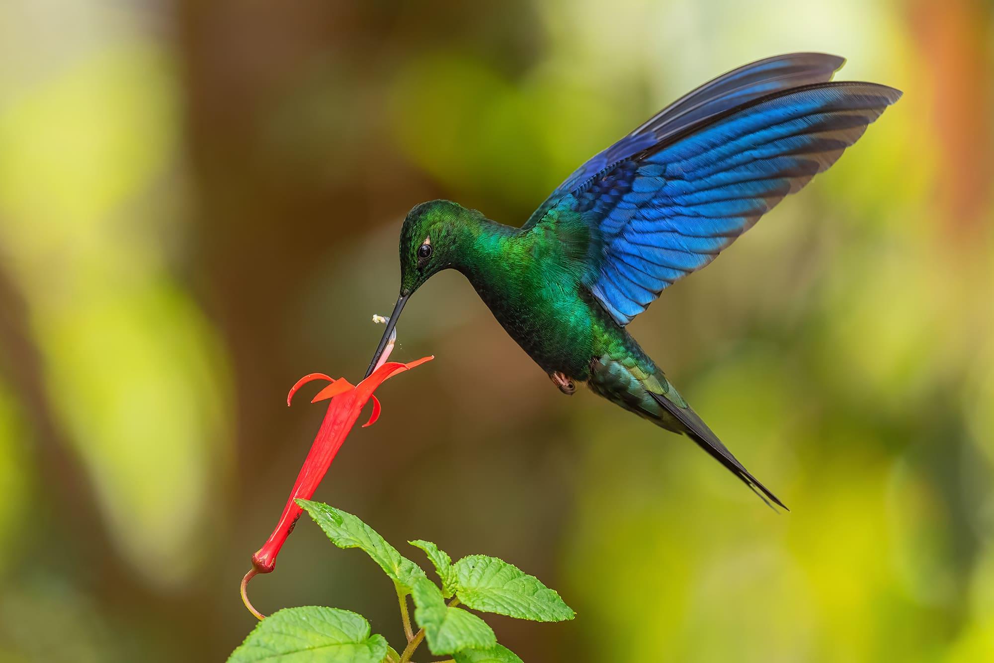 Great Sapphirewing Hummingbird in Ecuador.