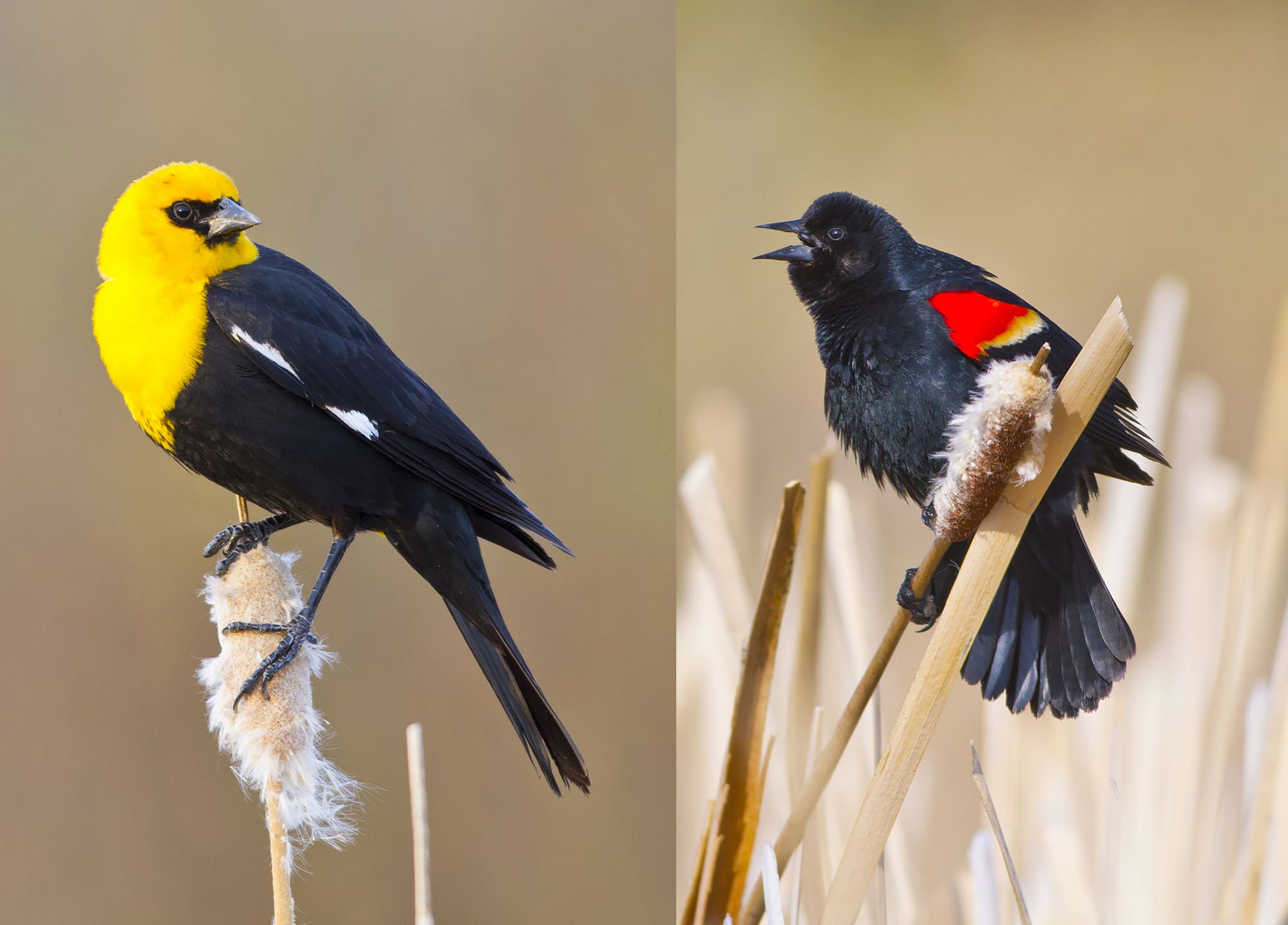 Yellow-headed and Red-winged Blackbird