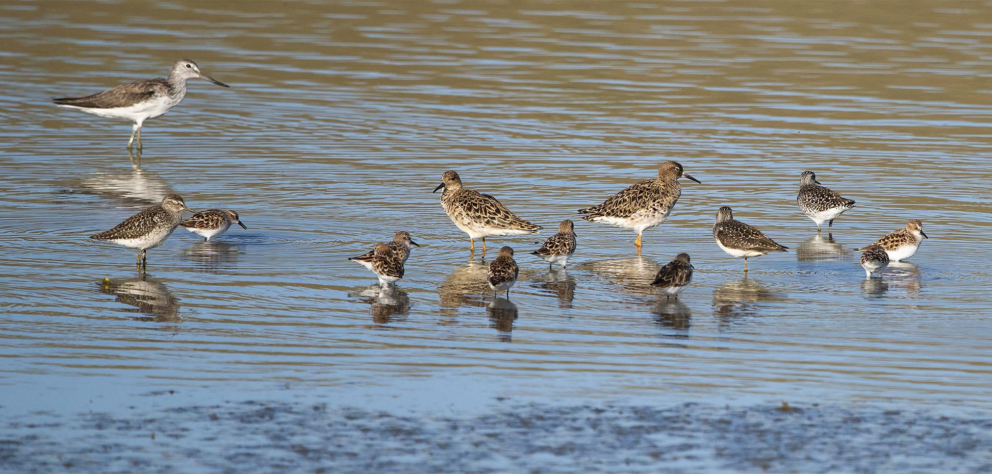 Shorebirds on a mudflat