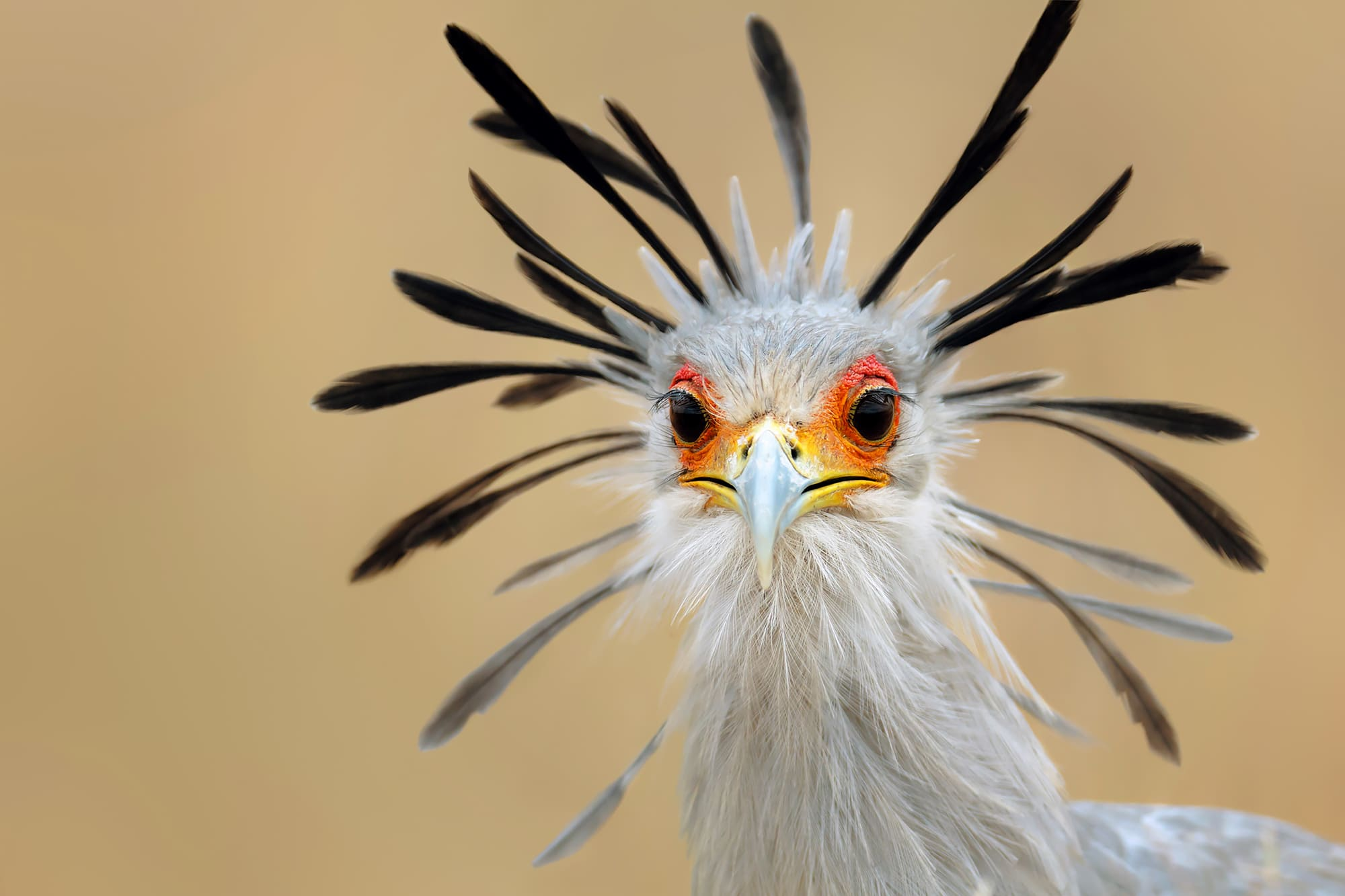 The head of a Secretarybird.
