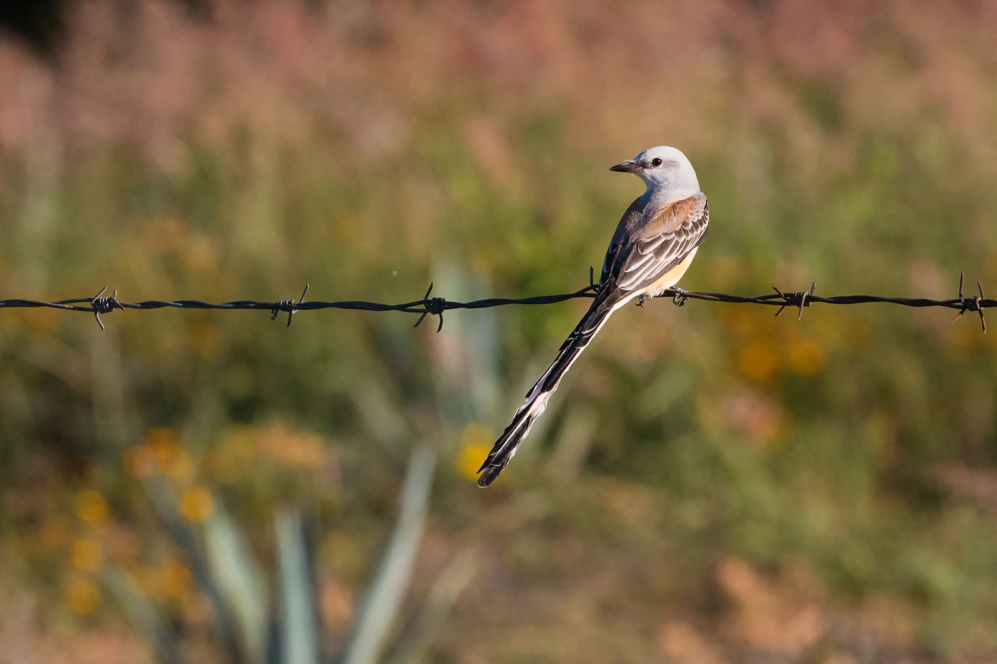 A Scissor-tailed Flycatcher
