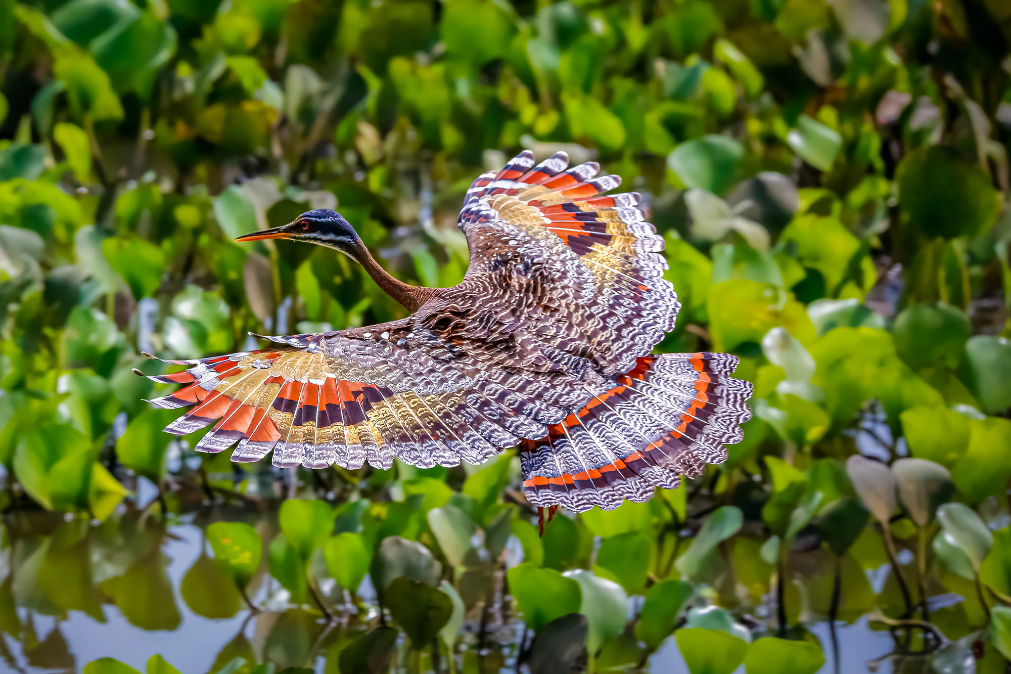 A Sunbittern bird in Brazil.