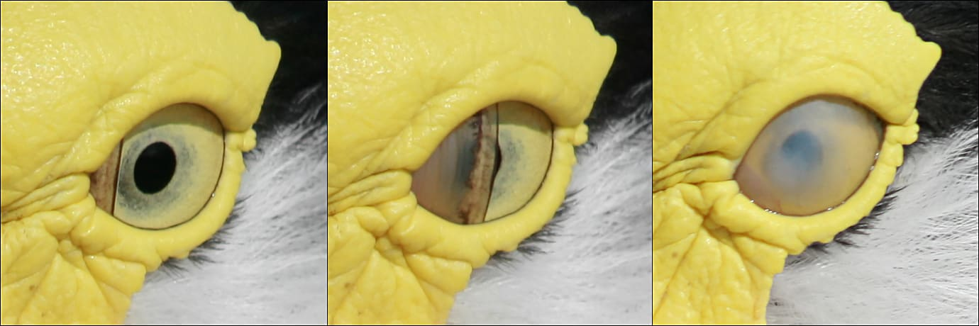 Nictitating membrane on a Masked Lapwing