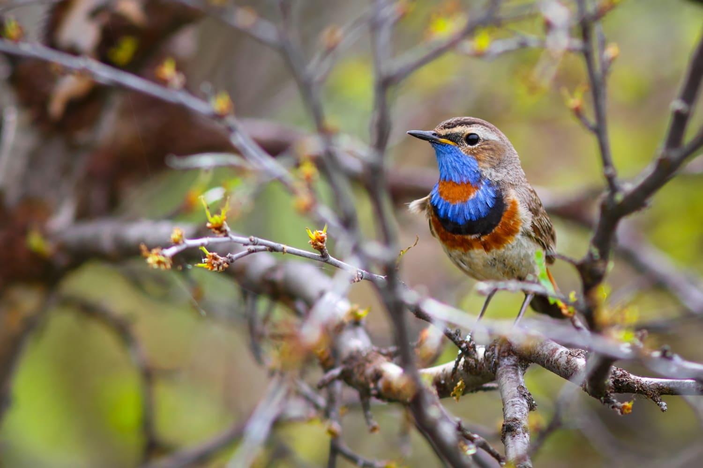 Male Bluethroat Bird