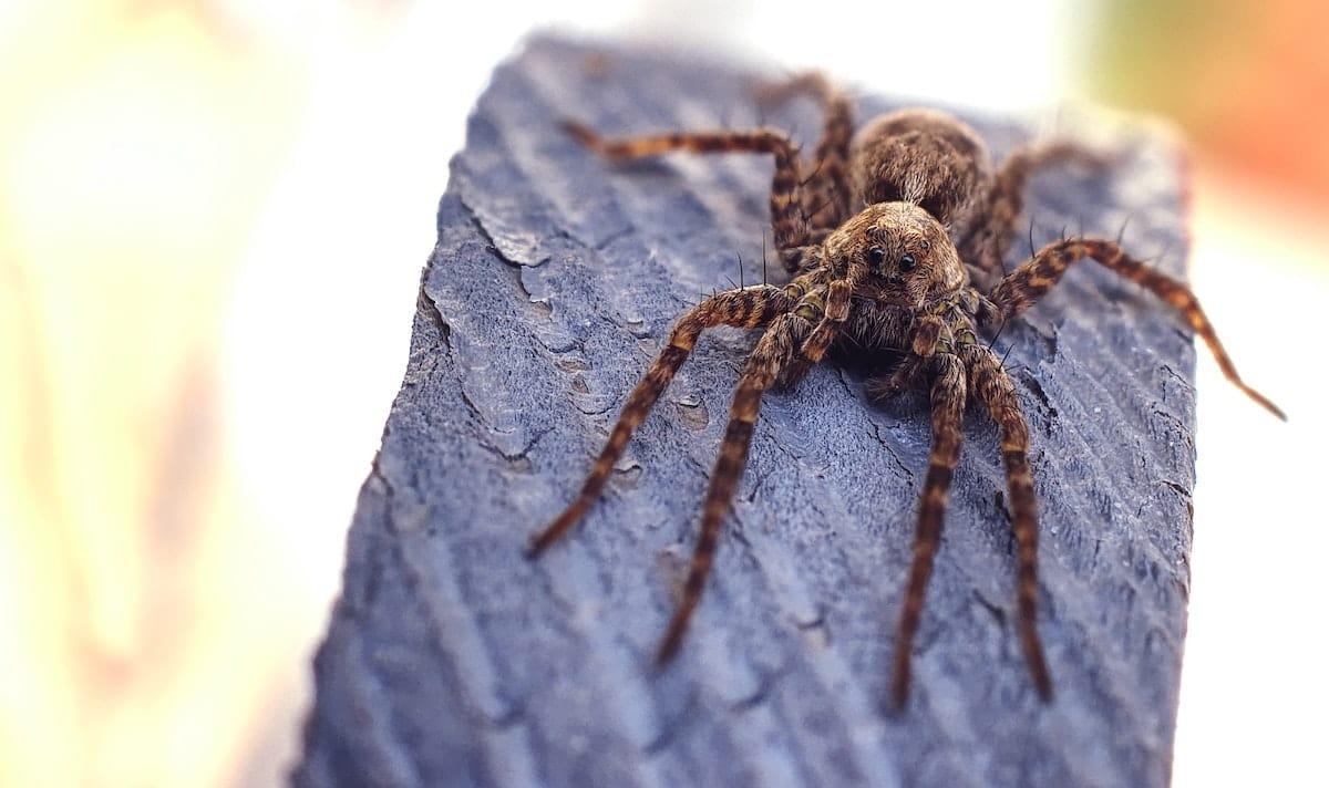 Brown and black striped Huntsmen Spider